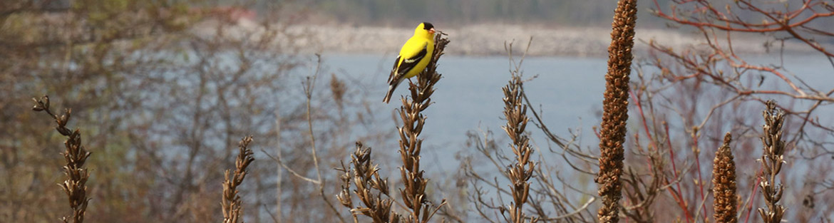American goldfinch perched in wetland at Tommy Thompson Park