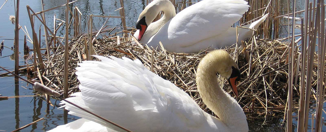 mute swans at Tommy Thompson Park