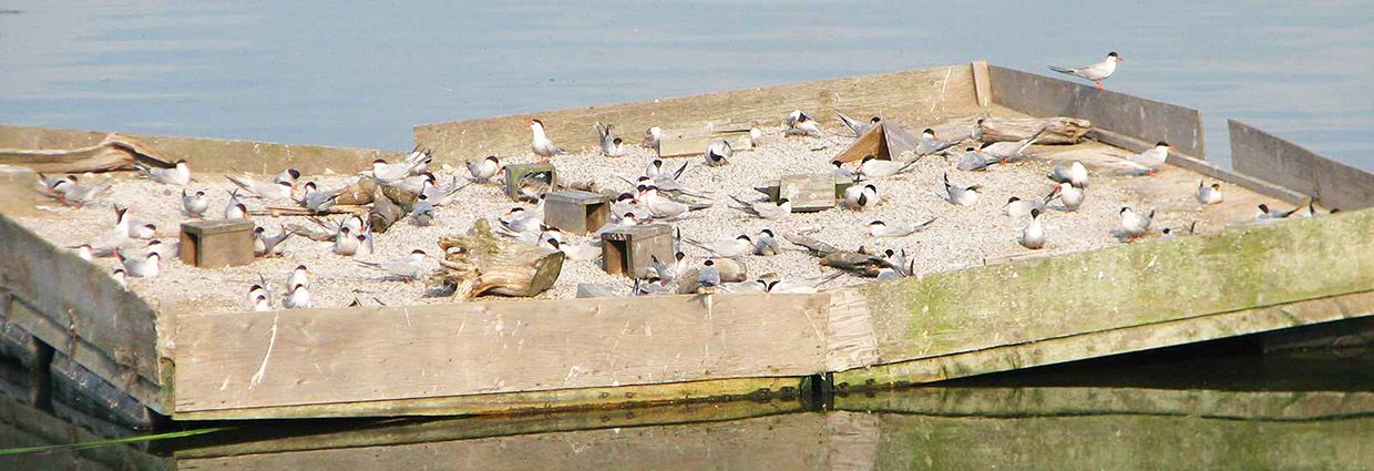 tern raft at Tommy Thompson Park