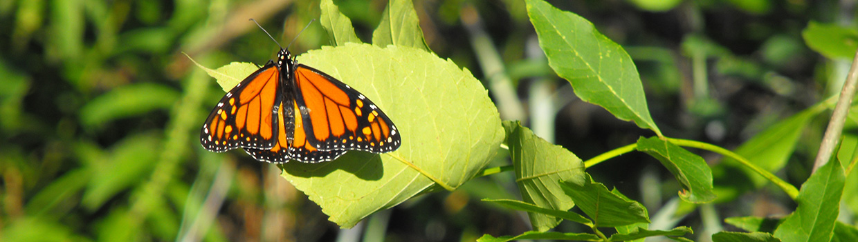 monarch butterfly clings to a leaf