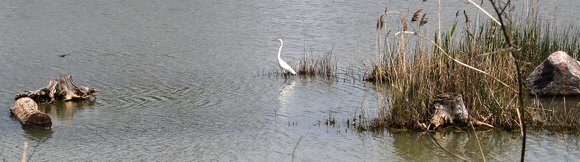 heron in wetland at Tommy Thompson Park