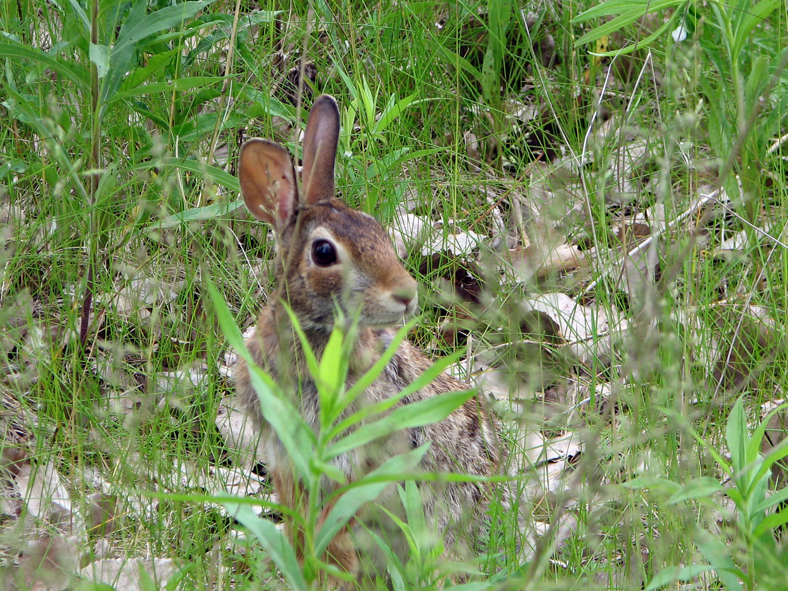 A cotton tail rabbit