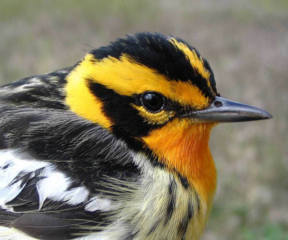 A Blackburnian bird