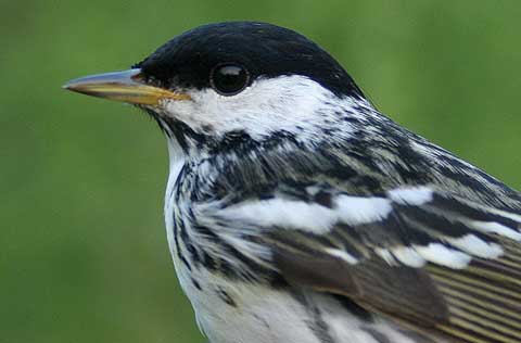 A blackpoll bird