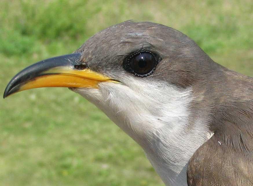 A Cuckoo bird