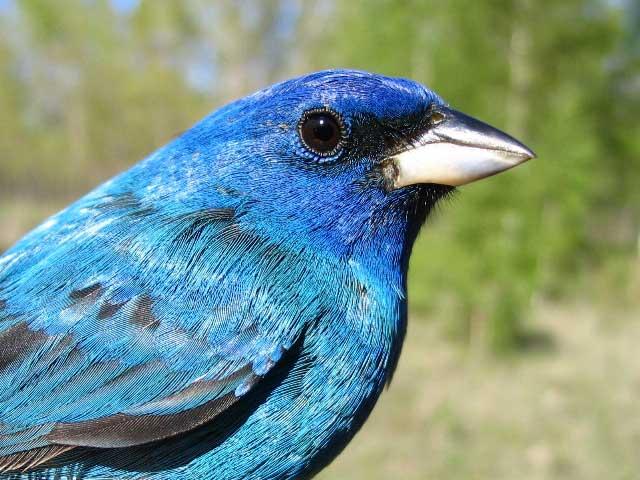 A bird - Indigo Bunting