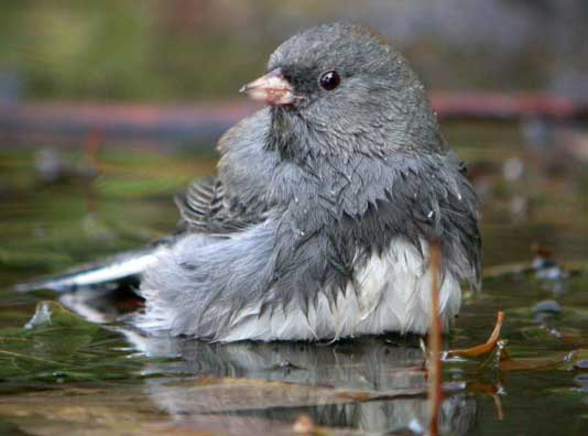A junco bird