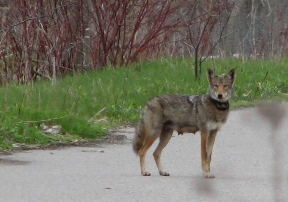 The Eastern Coyote is a mammal found at the park.