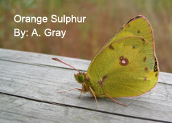 Orange Sulpher butterfly