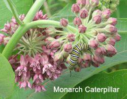 Monarch catepillar