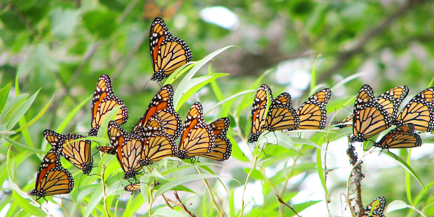 monarch butterflies at Tommy Thompson Park