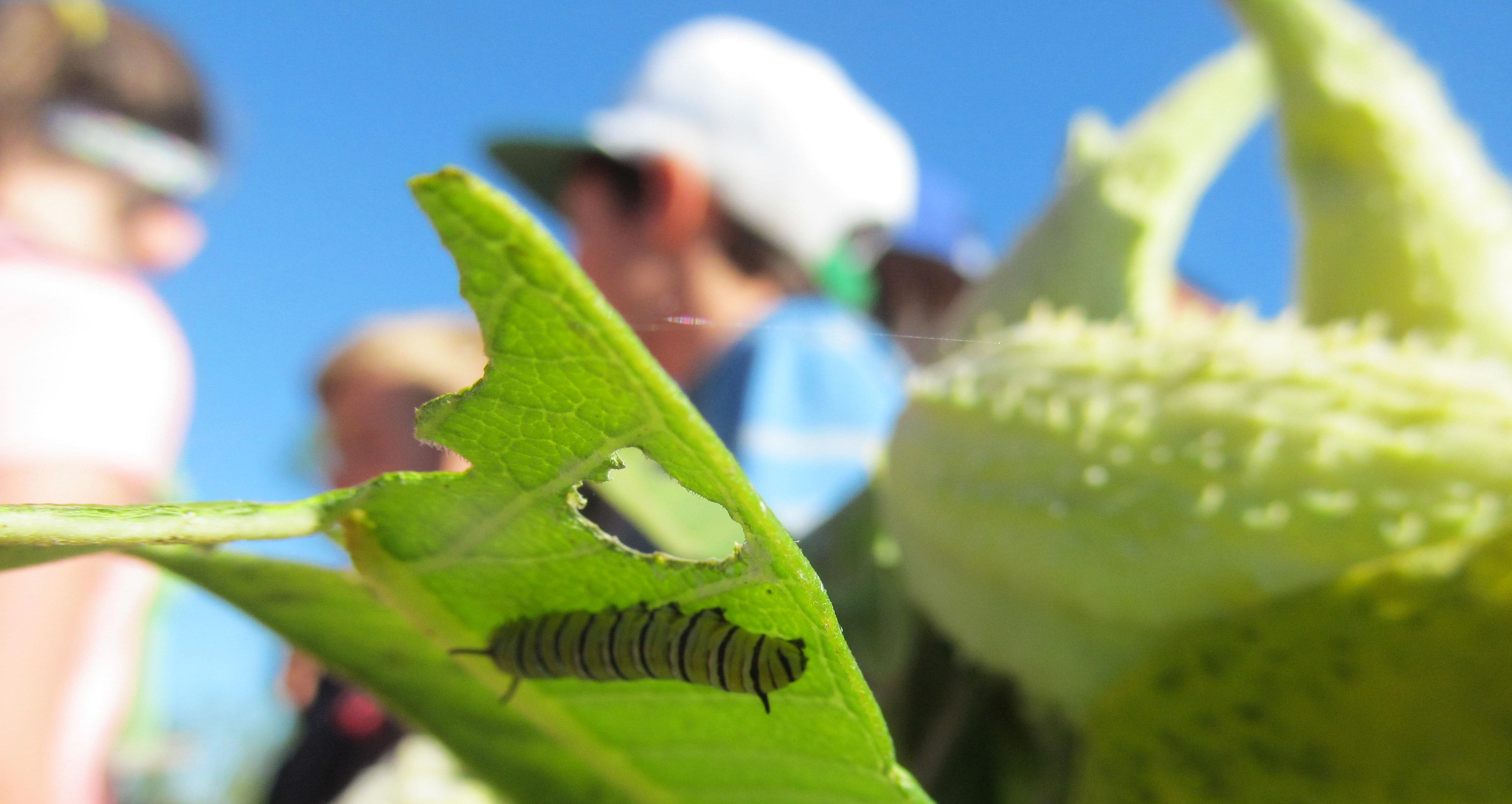 Monarch caterpillar under a milkweed leaf with campers nearby