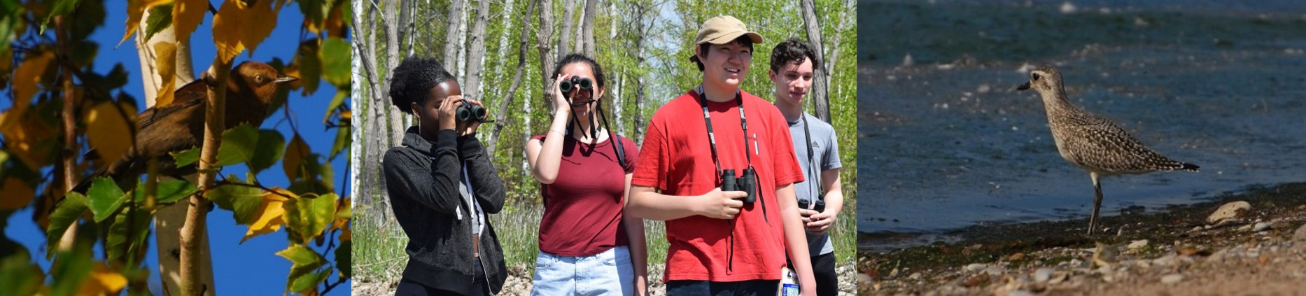 Three photos - Rusty Blackbird; youth with binoculars; Shorebird