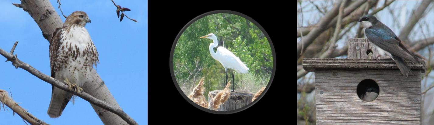 Three photos of birds: hawk, egret, swallow