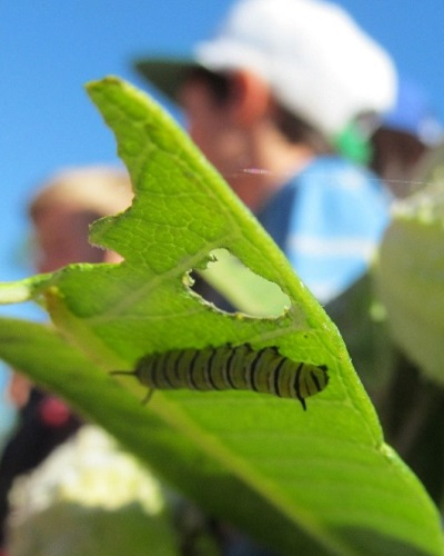 monarch caterpillar crawls on underside of milkweed leaf at Tommy Thompson Park